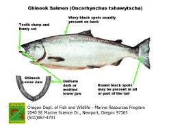 Chinook Salmon Diagram